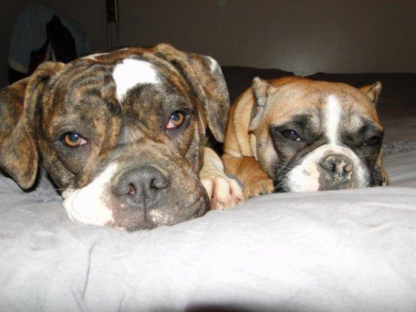 heni american bulldog et H shorty bull
