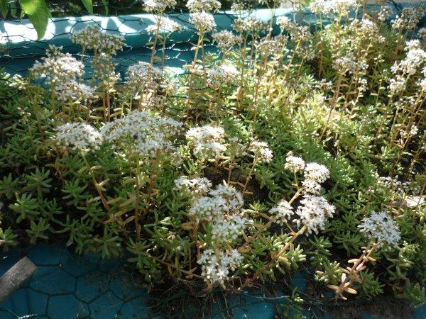 La fleur qui pousse sur les toitures ou dans les rocailles jardinzanimaux - Ou pousse le kiwi ...