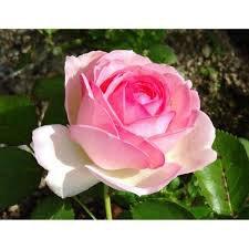 ma rose préféré la rose Pierre de Ronsard 💖...
