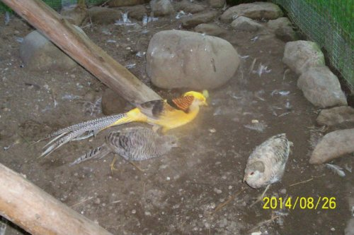 Yellow Golden Pheasant Trio - Pets Listing for Sale