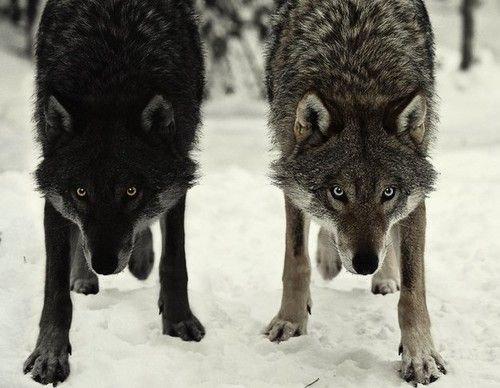 Rang social et rôle des Lycanthropes