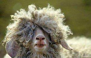 hhh..a  vontre  avi  il  dit  koi  c  chat  kon  il  va  ce  mouton!!!