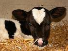 o la vache