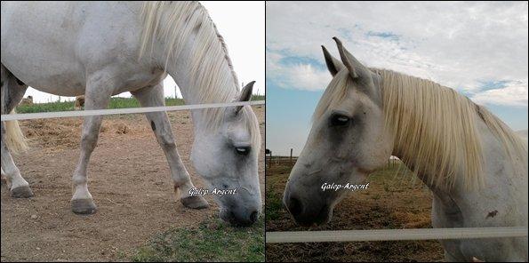 .  Un nouveau cheval .