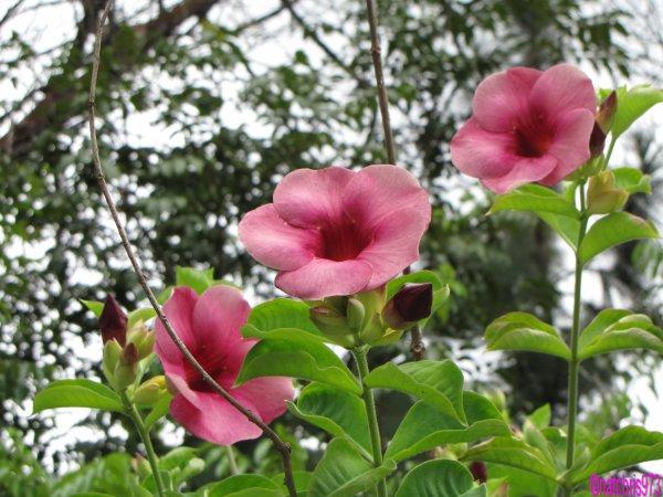 Alamanda rose