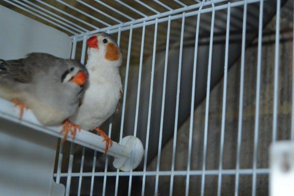 couple gris poitrine blanche x grise