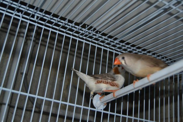 couple gris poitrine blanche x brune