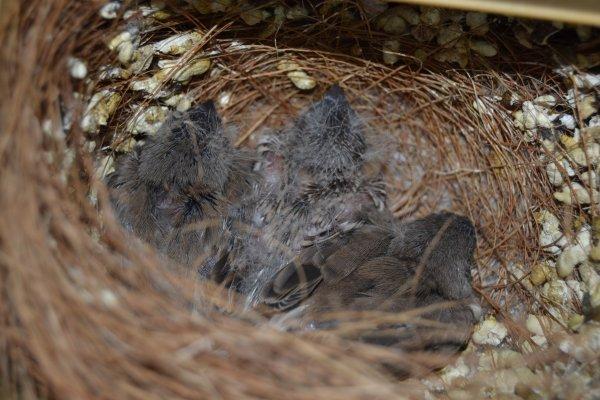 3 jeunes issus d'un couple gris blackface x dos pâle grise pastel