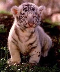 Article à remixer si vous aussi vous êtes contre la maltraitance envers les Tigres !