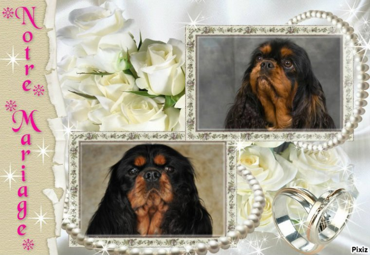 MARIAGE DE CAVALIER KING CHARLES