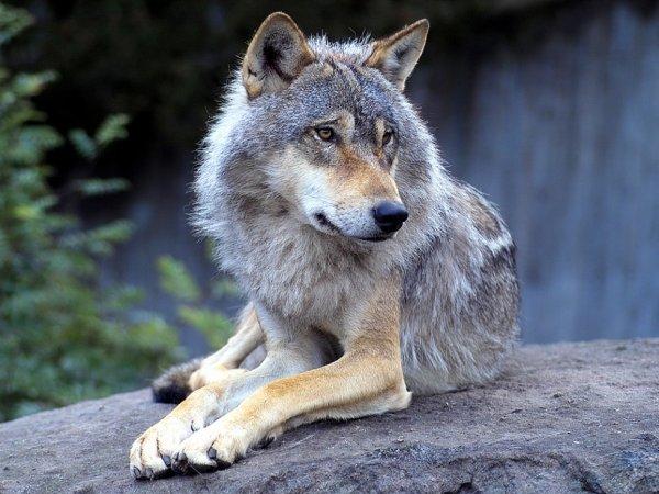 Etre loup