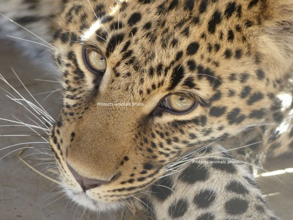 →Animal favorit: Le leopard