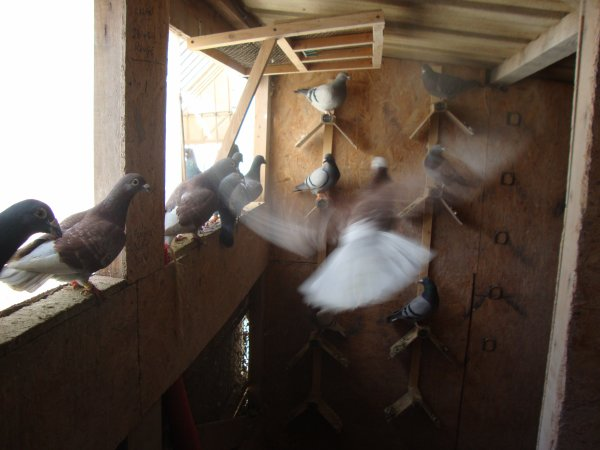 quelque pigeon a vendre
