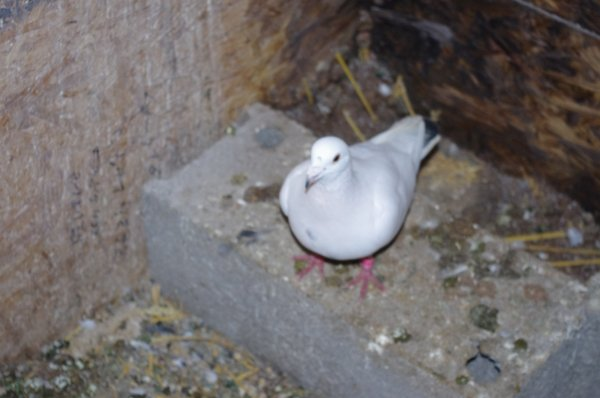 un tres beau pigeon