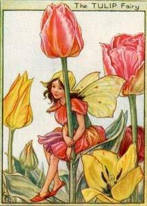 fairy tulip