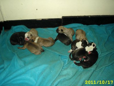 Chiots Americanstaff né le 17 Oktobre 2011