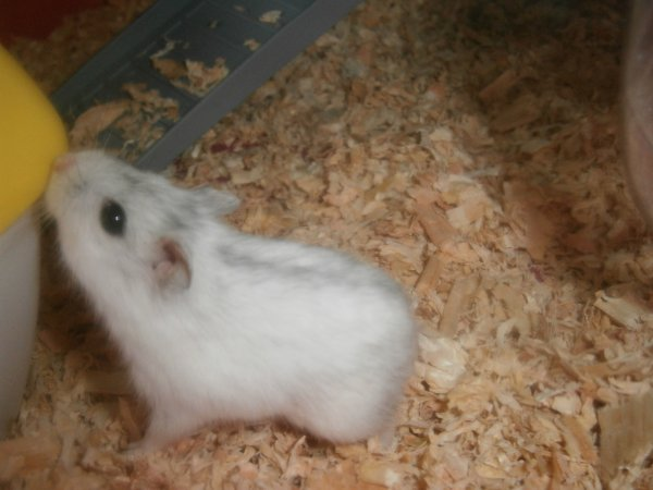 Mon nouvel hamster Givre ! <3