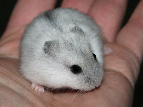 Les différentes couleurs de l'hamster russe
