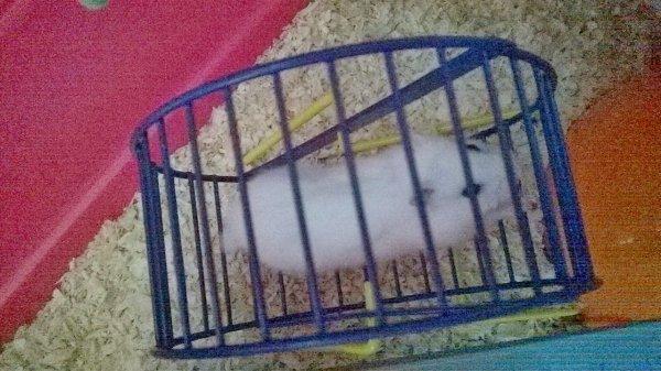 Voici mon petit hamster chéri... ICE !!