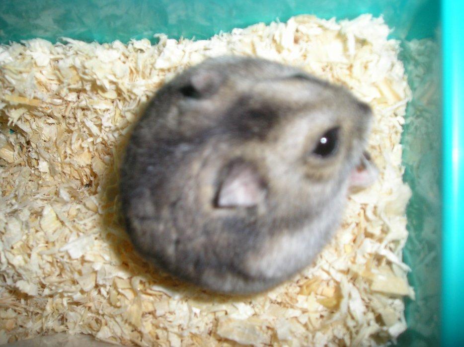 Blog de cromimi-les-hamsters
