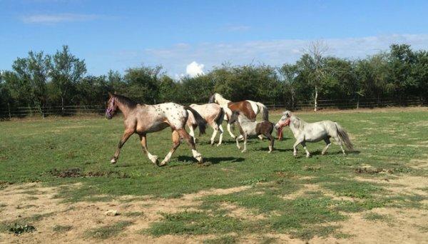 Des chevaux errants secourus par la Fondation 30 Millions d'Amis