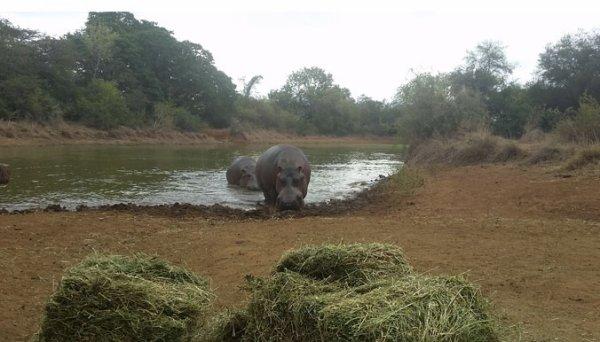 Photos : Aldo l'hippopotame, sauvé une troisième fois !