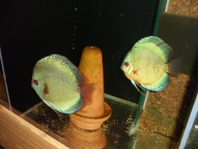New couple de discus 1