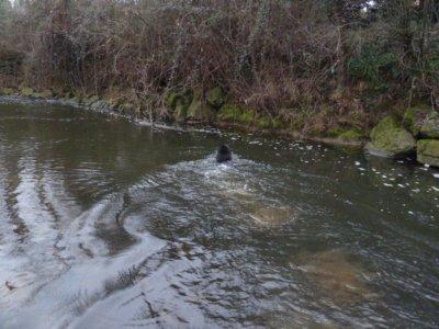 30 jan 2011 - dimanche FEE NOIRE ! BLACK FAIRY nage ruisseau SEILH Toulouse...ne personne par ici connais nom de ce ruisseau...meme son EXISTENCE ! ils ne se promenent pas avec un chien je dis a ca ! et oui ! ca BOUFFE des heures le Dimanche en France !