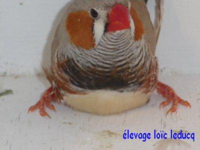mâle brun porteur poitrine orange