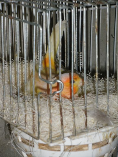 jeune canaris