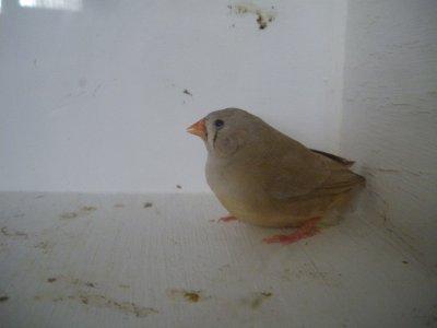 femelle brune