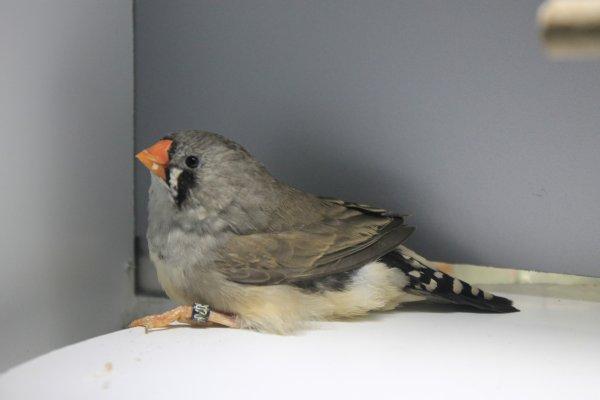 une jeunes gris en mue juvenile