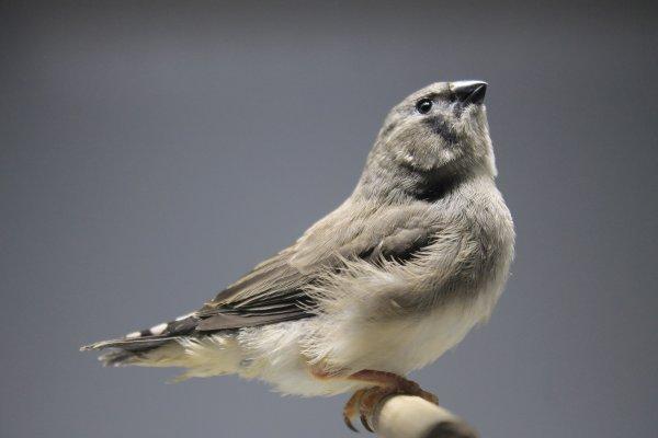 une grise fraîchement sortie du nid