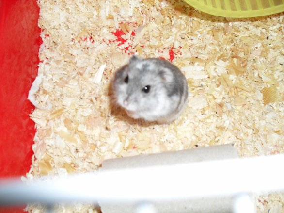 whity hamster russe