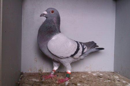 bon pigeon de l'année 2012