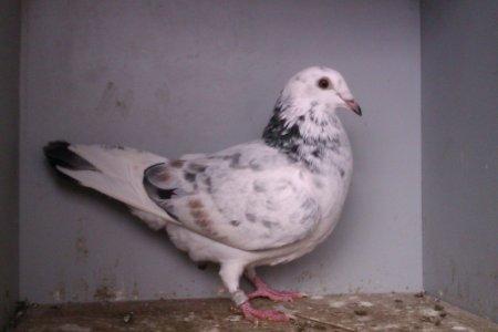 pigeonne de cette année 2012