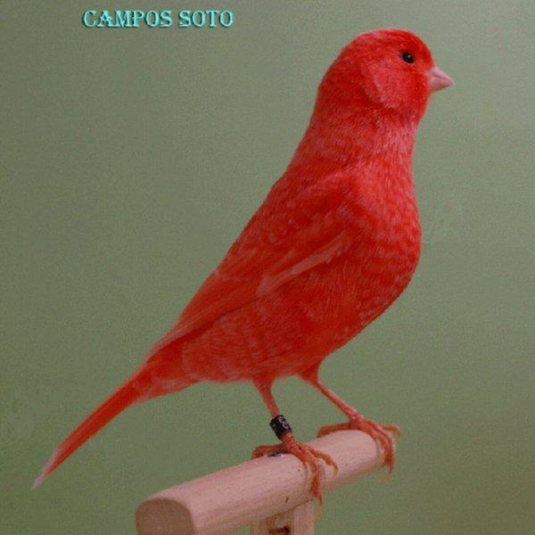 Rouge Shimmel