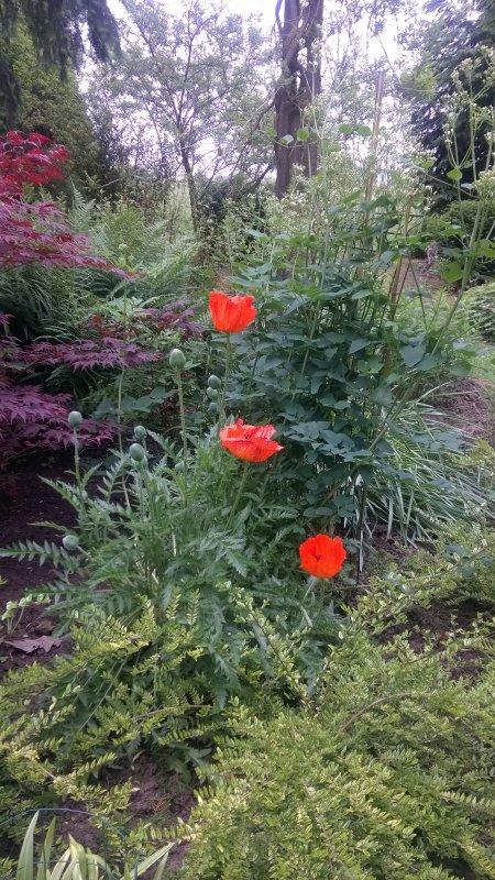 trois fleurs de pavot vous disent bonjour...
