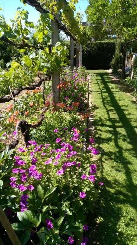 Sur la pergola, au-dessus des fleurs, court une vigne qui. cette année, donnera de belles grapes de raisin grâce au soleil de cet été.