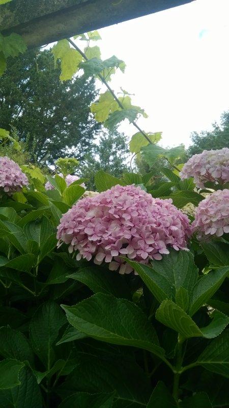 de les avoir tailler très courts, à la fin de  l' hiver, les hortensias ont fleuri tardivement,, si bien que les fleurs sont très belles encore.