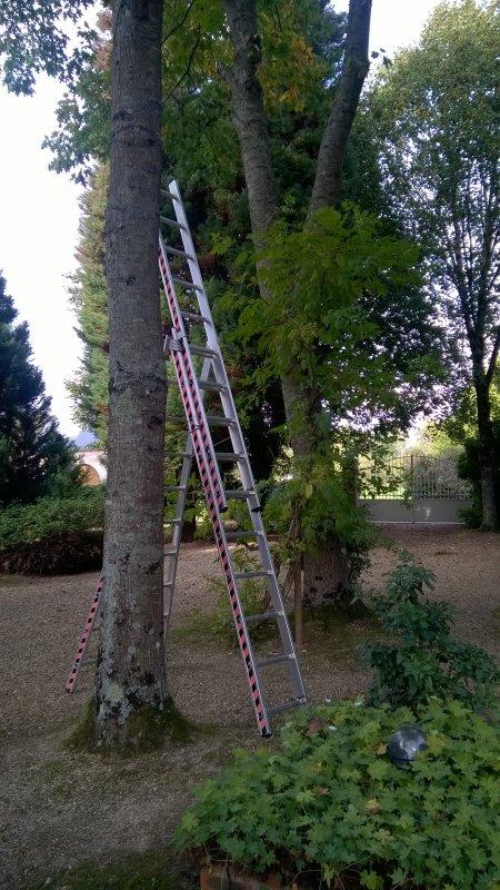 """L' élagage des  chênes de l' allée avance...  il reste encore deux arbres à """"débrancher""""..."""