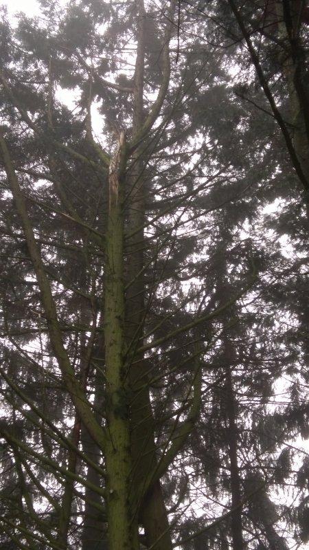 Aujourd' hui, en fin de matinée, gros problème...  Les tempêtes successives ont cassé des sapins, comme le montre cette photo...