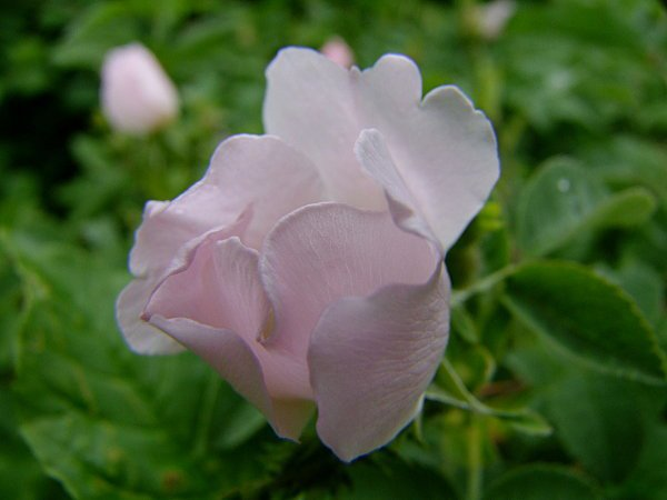 Un article ancien... mais la fleur est si jolie !