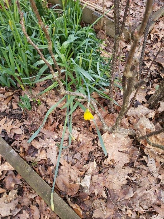 Les toutes premières fleurs du jardin, bien timides... elles ont souffert du froid, surtout la petite jonquille courageuse...