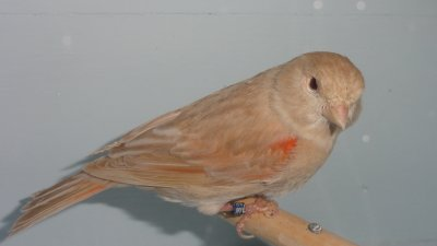 ma femelle brun topaze rouge mozaique OR à Malinnes