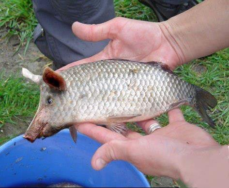 Attention retour des farines animales pour nourrir les poissons d'elevage...........bientot on bouffera des poichons......