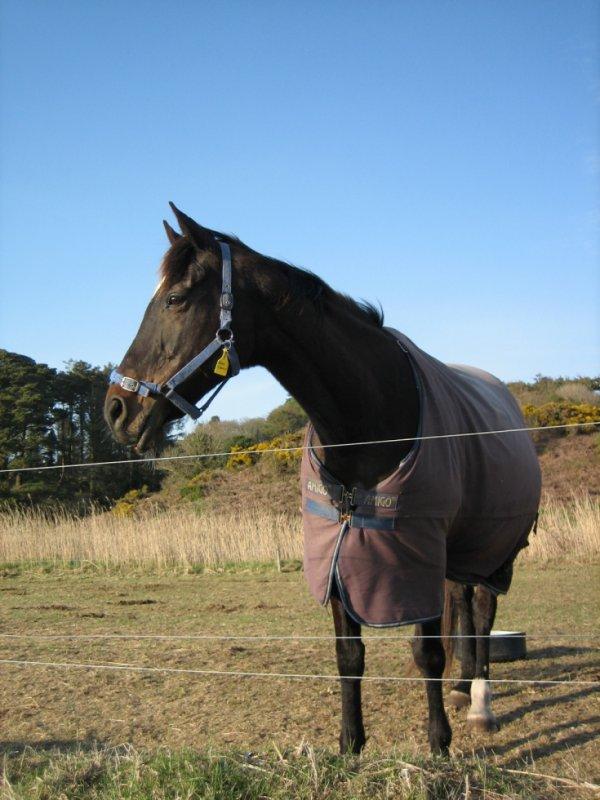 un cheval d'irlande