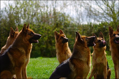 Blog de Dog-Berger-Allemand - Blog de Dog-Berger-Allemand