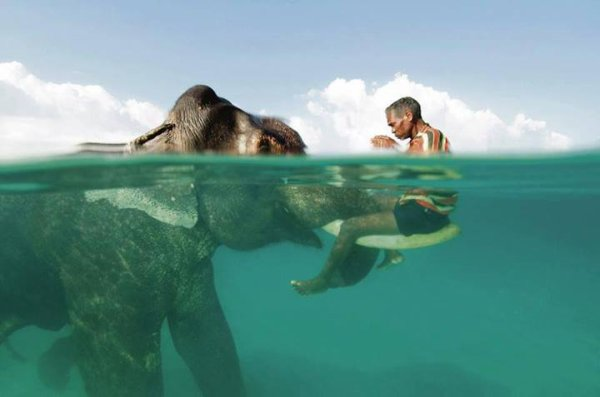 Magnificent click of a man sitting on an Elephants trunk half under water