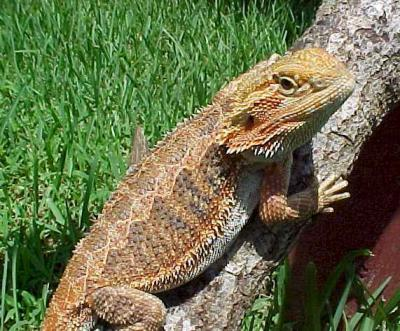how to get rid of gecko lizards outside
